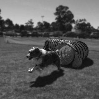 agility dog training brisbane redlands
