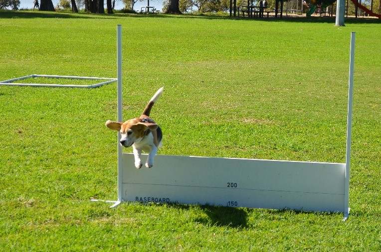 a beagle jumping over a white fence on green grass