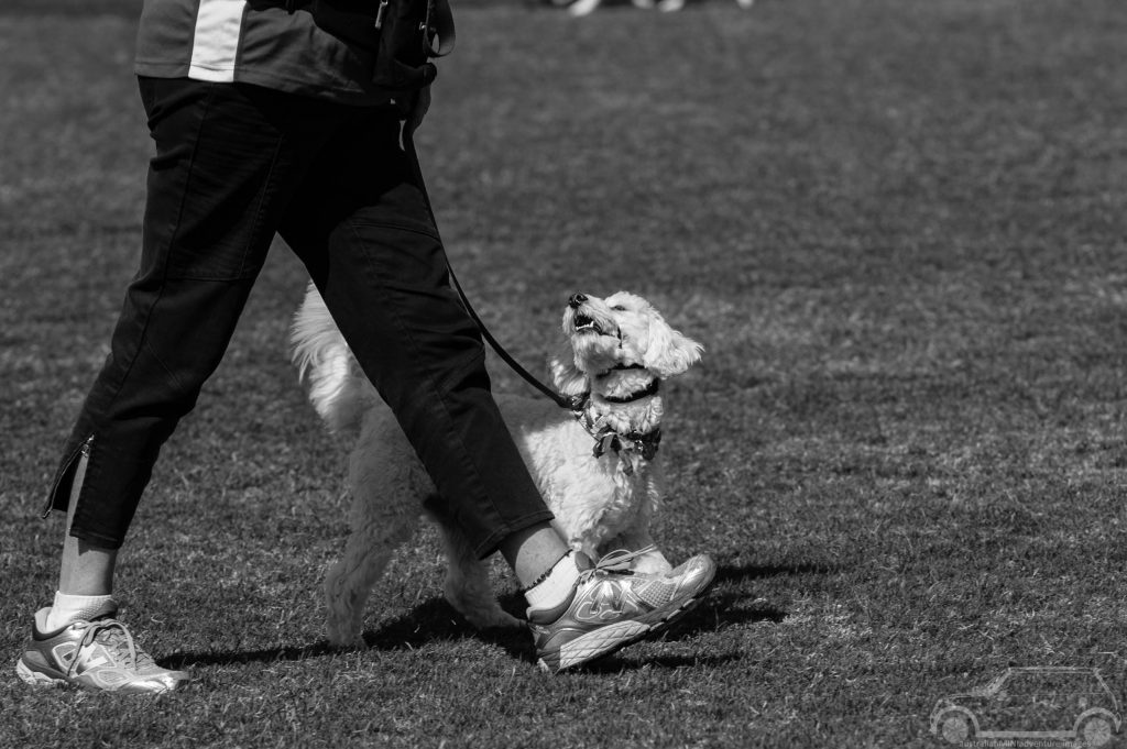 Dog looking at handler dog obedience