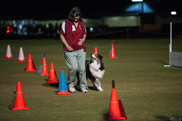 a person wearing a red shirt and light coloured trousers with an Australian shepherd dog. The dog is very close to and looking at the person. They are following orange traffic cones.